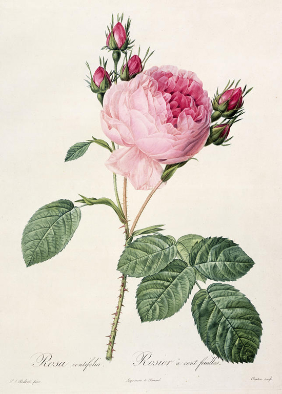 honey-kennedy-rosa-centifolia-pierre-joseph-redoute