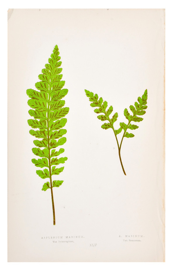 honey-kennedy-leif-asplenium-marinum-fern-print
