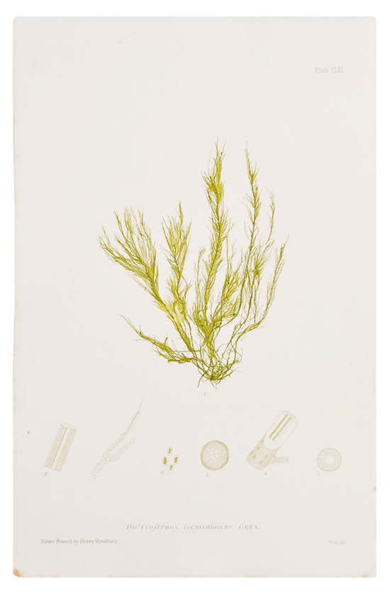 honey-kennedy-leif-dictyosiphon-seaweed-print