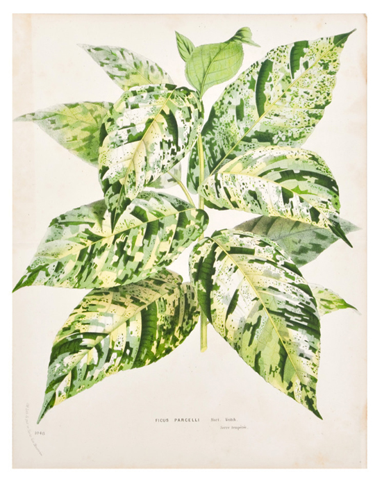 honey-kennedy-leif-ficus-parcelli-leaf-Print